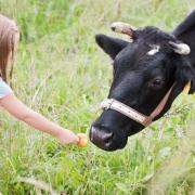 Girl feeding cow